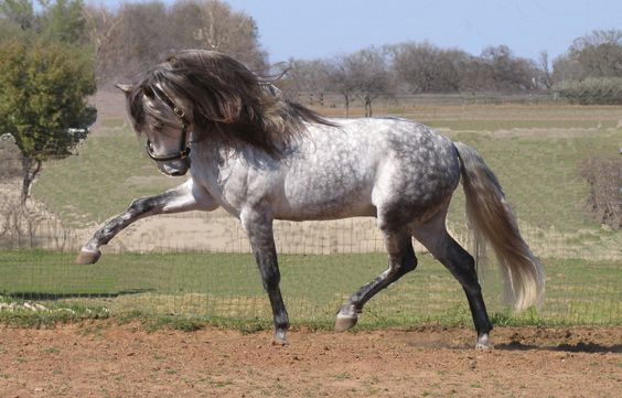 Andalusian Horse. Loove the color contrast