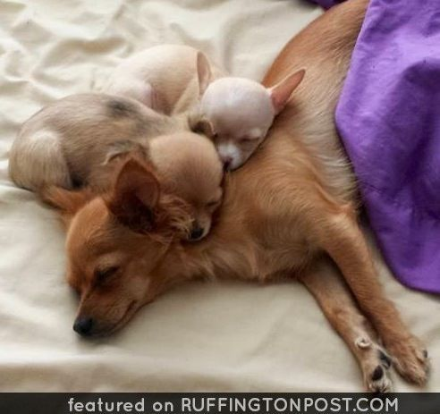 Mom And Babies Chihuahuas Take Care Of Your Pets With Cbd Oil