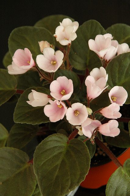 "African violet - Optimara ""Isabelle"" by banscylla, via Flickr"