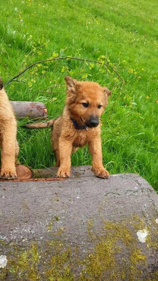 Arbeitshunde Hutehunde Welpe Westerwalder Kuhhund Mix In Bayern Kirchzell Arbeitshunde Hunde Tiere