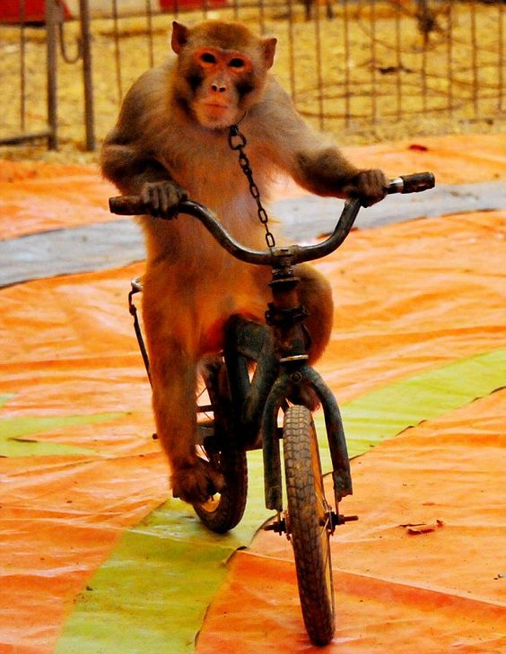 The animal zone: Tigers on horseback and chained monkeys riding bicycles: Cruel Chinese circus flouts government ban: