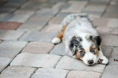aww my favorite :) Australian Shepherd