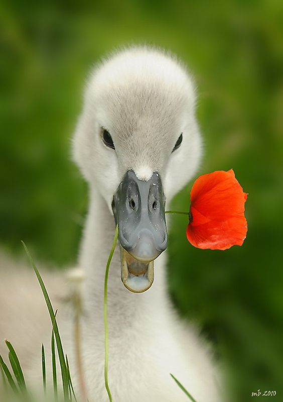 duck with poppy