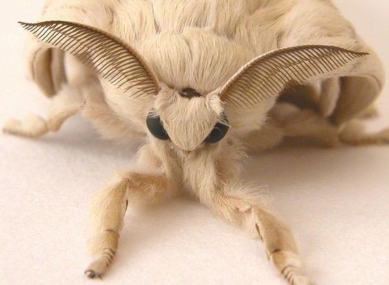snopes.com: Actual Venezuelan Poodle Moth