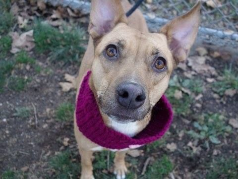SAFE 01/04/15 --- Manhattan Center  FOXY BROWN - A1020325 *** AVERAGE HOME ***  SPAYED FEMALE, TAN / WHITE, GERM SHEPHERD / PIT BULL, 3 yrs OWNER SUR - ONHOLDHERE, HOLD FOR COURTESY Reason INAD FACIL  Intake condition EXAM REQ Intake Date 11/11/2014, From NY 10029, DueOut Date 11/14/2014,  https://www.facebook.com/photo.php?fbid=905797606099786