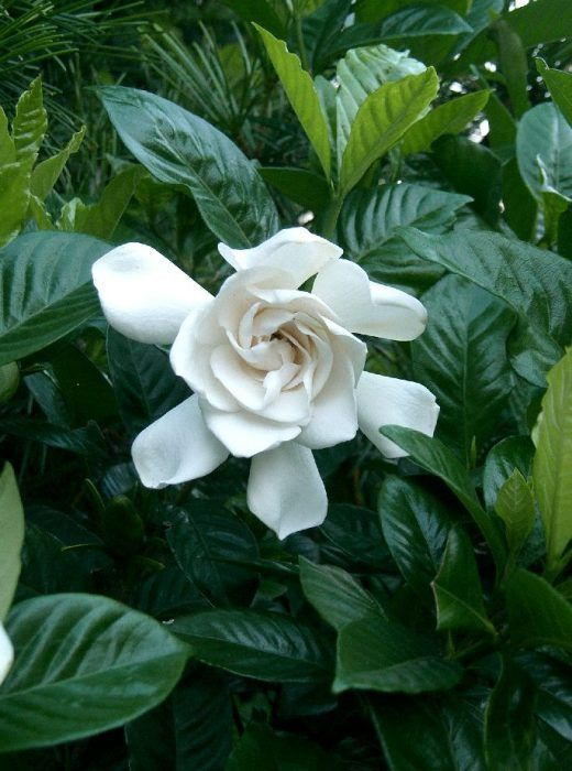 Gardenia Magnifica 6 Pot Hello Hello Plants Garden Supplies Evergreen Potted Plants Growing Gardenias Gardenia