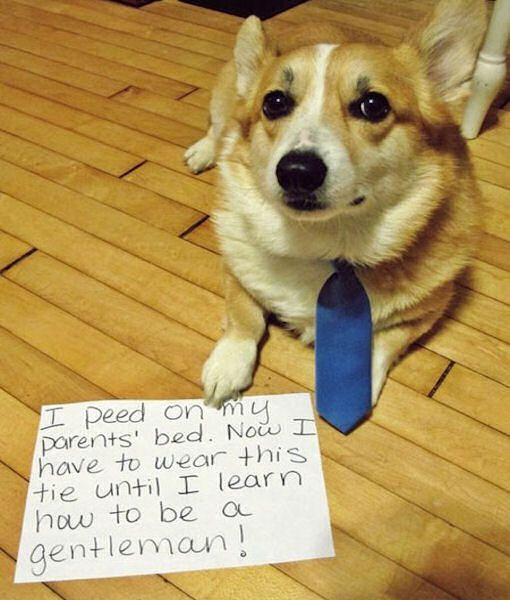 Dog Peed On His Parents Bed This Is His Punishment Funny Animal