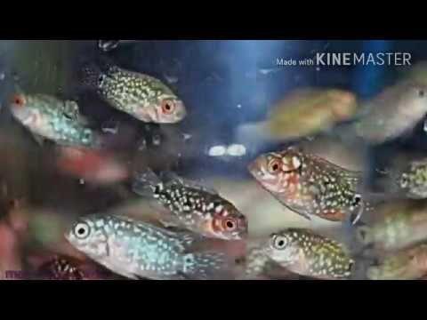 Tips Memilih Anakan Ikan Louhan Yang Berkualitas Bagus Dan Mahal Terbaru 2017 Youtube Ikan