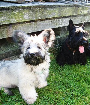 Skye Terrier puppy.... can I have one please!?