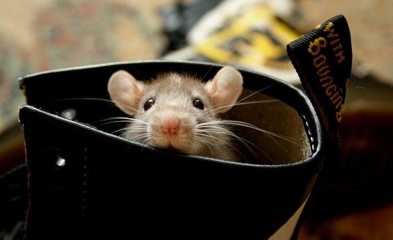 Le rat domestique ! http://inspirations.desjardins.fr/le-rat-domestique/