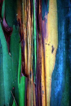 Rainbow Eucalyptus Tree on Pinterest