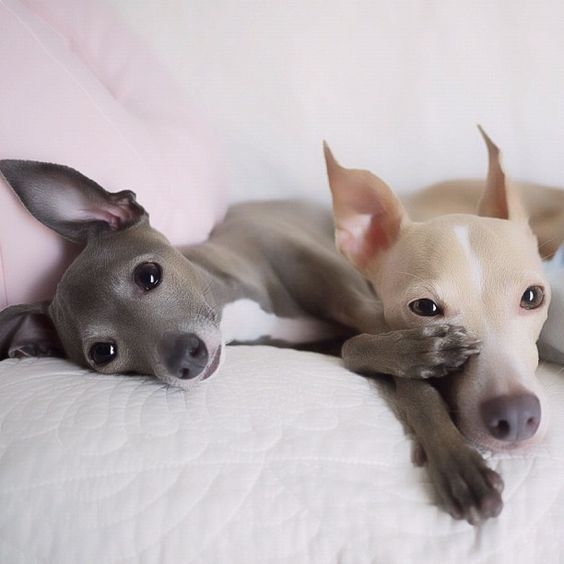 Italian Greyhounds.....this reminds me of Icarusa and Dolce
