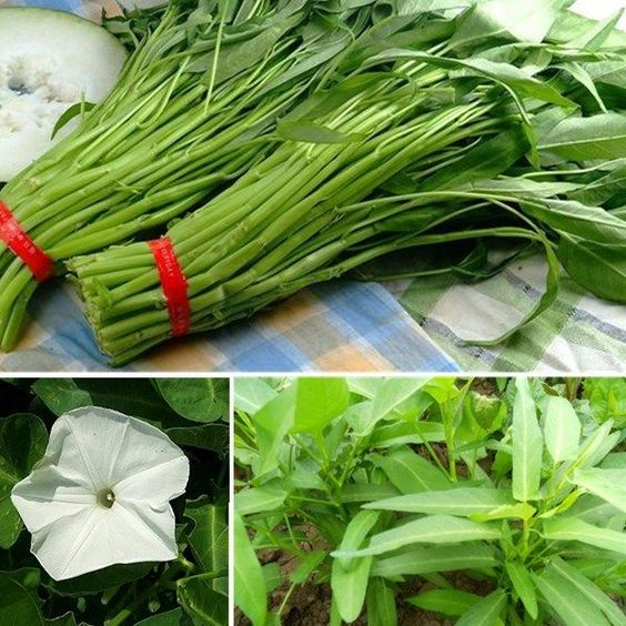 250~1000pcs Water Spinach Bamboo Large Leaf Organic Swamp Green Vegetable Seed