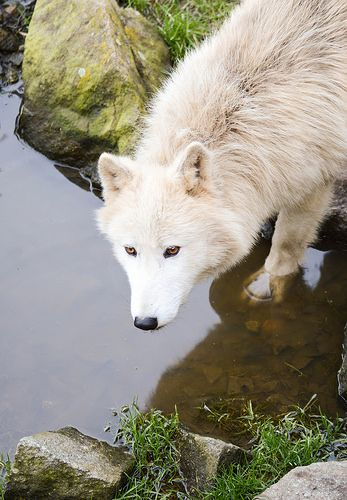 ivory/whiteish wolf in water