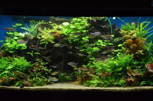 I have this secret desire to have some huge planted fish tank be a wall or a window in my home someday.  This company has nice staff and some of the coolest fishes anywhere!