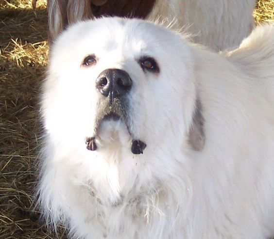 2009 2 23 Pup Indy 002 Jpg 800 700 Great Pyrenees Great
