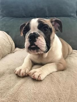 Bulldog Puppy For Sale In Summerville Sc Adn 28218 On