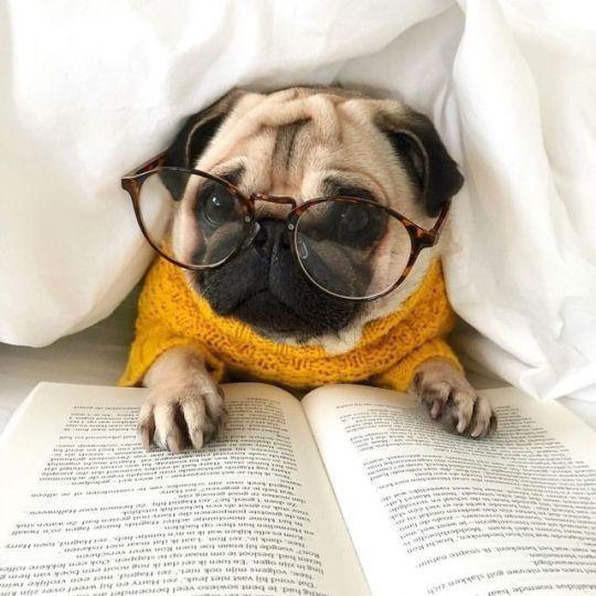 Cute Pug Reading A Book Books Pugs Pugswithbooks Booksandpugs