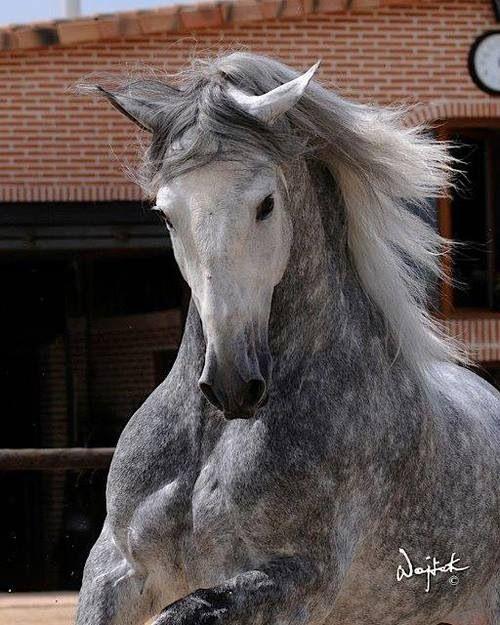 Dapple grey Azteca horse Pura Raza Espanola Yeguada Herrera Caballos Espanoles Caballos Bailadores Andalusian Lusitano Lippizzaner spanish horse Piccador Vaquero Charro PRE