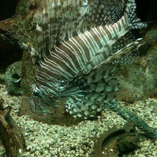 Picture of a beautiful lionfish I took at the Virginia Beach Aquarium! :)