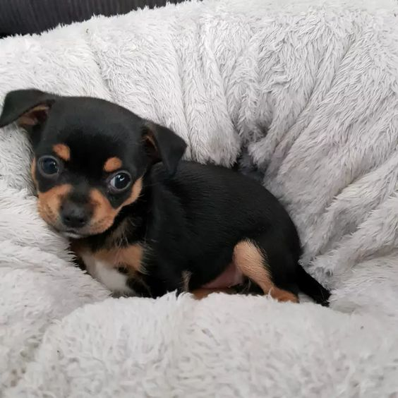 Beautiful Chihuahua Puppies For Sale Dogs Puppies Gumtree