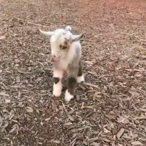 Happy Baby Goat Good Morning Happy Baby Goat Animals Beautiful Cute Baby Animals Baby Animals