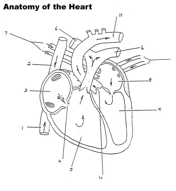structure of the heart worksheet