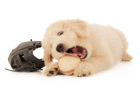 Ready for the Major League! #Smeraglia #Goldendoodles love to play!  www.teddybeargoldendoodles.com #EnglishTeddyBearDoodle #DoodleDynasty #GodPeopleDogs #StrictlyDoodles