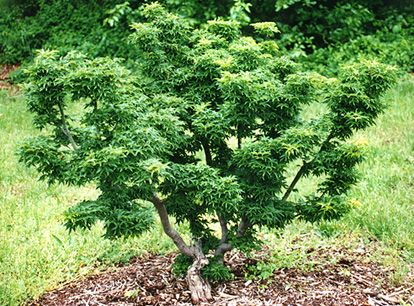 "Japanese Maple 'Shishigashira' (30-36"" plant)        Shishigashira Japanese Maple; An upright sculptured vase with curled green leaves. Compact growth makes the plant ideal for small gardens or bonsai. Fall color is yellow to red. Grows 8'-10' tall."