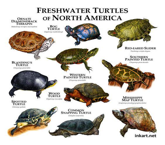 turtle wfb turtle tortuga turtle garden turtle tanks tiny turtle ...