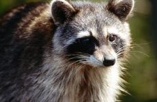 Keep floodlights in your yard to deter raccoons from entering.