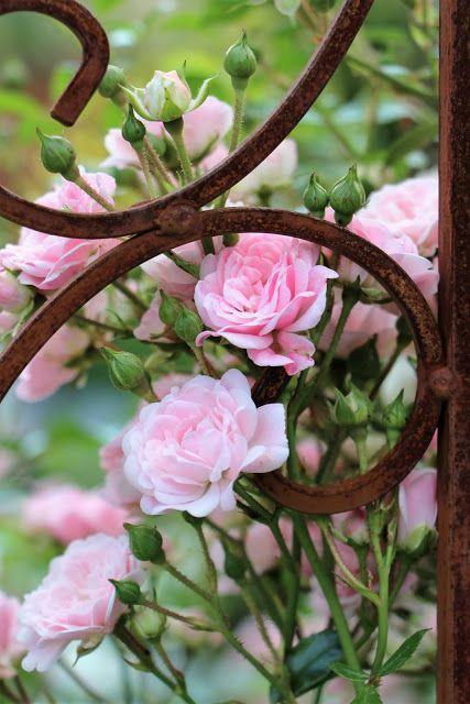 Pink roses:                                                                                                                                                      Plus