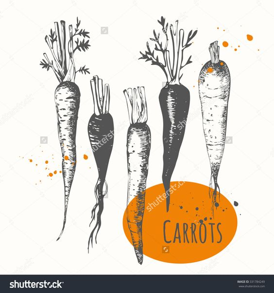 Set Of Hand Drawn Carrots. Black And White Sketch Food. Fresh Organic Food. Vector Illustration With Sketch Vegetable. - 331784249 : Shutterstock