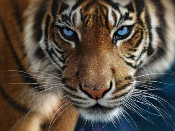 Tiger Eyes Im Genes Gratis Y Fondos De Pantalla Escritorio   Wallpaper