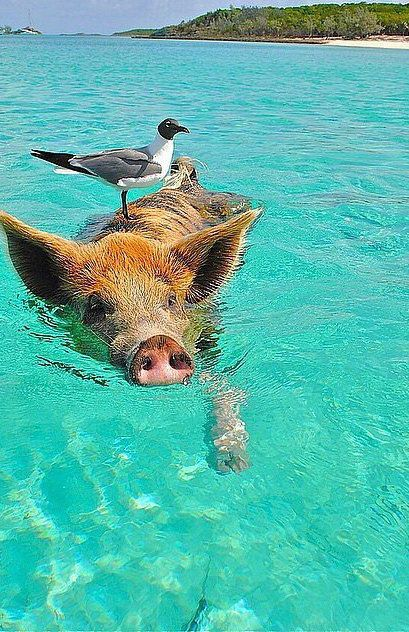 Before you die, you MUST visit Pig Island in the Bahamas.: