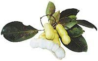 INGÁ - O fruto é longo, linear, atingindo até 1 m de comprimento, de coloração verde-pardacenta. Polpa branca, fibrosa, que envolve sementes negras e brilhantes, de consistência macia e sabor adocicado, é consumido in natura.