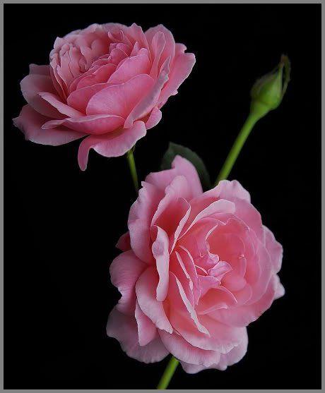 rose pink ruffle roses
