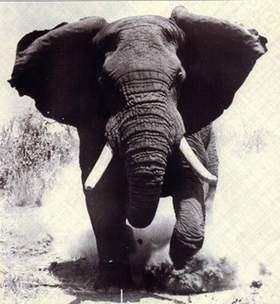 The Elephant InAmerica
