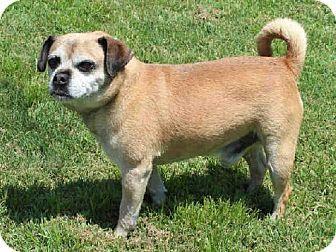 Edmond, OK - Pug Mix. Meet HERBIE, a dog for adoption. http://www.adoptapet.com/pet/11775169-edmond-oklahoma-pug-mix