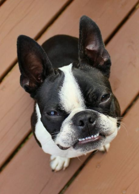 "boston terrier saying ""cheeeese"""