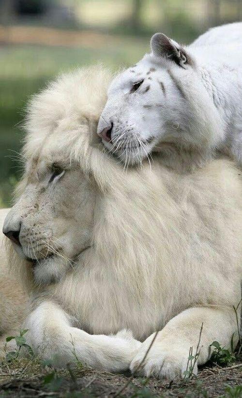 White Lion And Tiger Cats Bigcats Whitelion Whitetiger