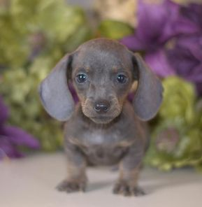 Dachshund Puppies For Sale Miniature Puppy Down Home Dachshunds Dachshund Puppies Dachshund Puppies For Sale Miniature Puppies