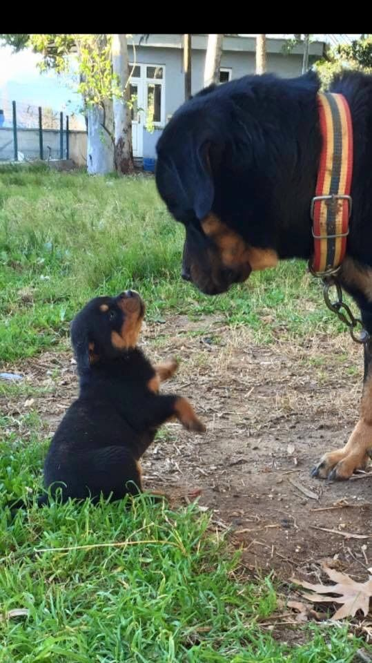 And Then What Happened Rottweiler Dogs Rottweiler Puppies