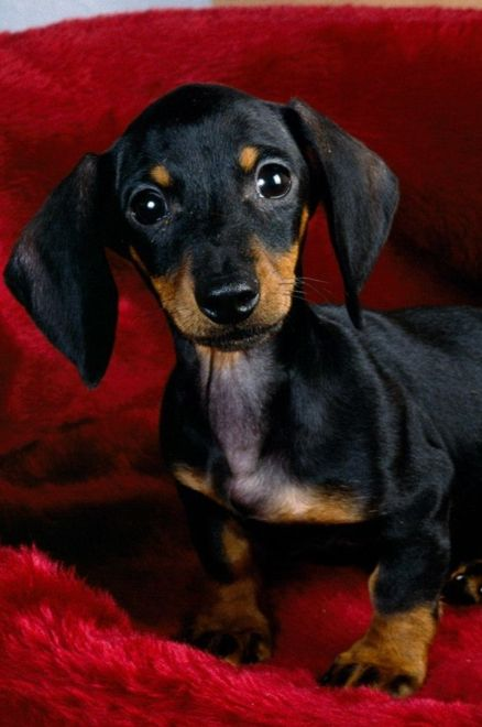 Daschund puppy!  Looks like my little Lucy did when she was a baby