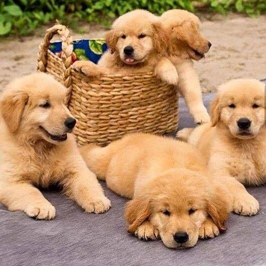 Basket Of Cuteness Puppies Retriever Puppy Cute Dogs