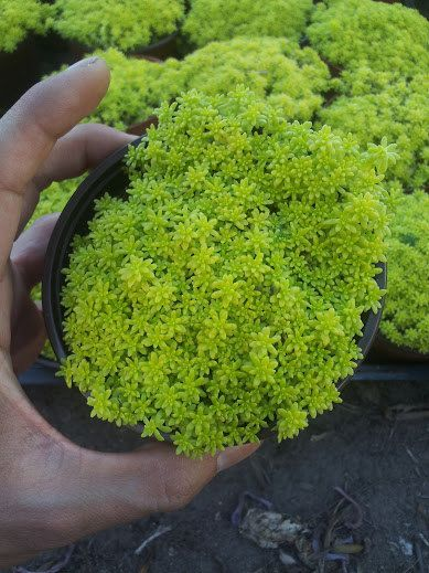 Yellow sedum japonica Tokyo Sun Ground Cover by ExoticSucculent