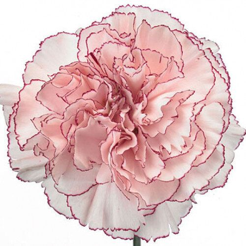 Trending Carnations Perfect For Your Diy Wedding Flowers Bloom Culture Flowers Diy Wedding Flowers Floral Sundries Expensive Flowers