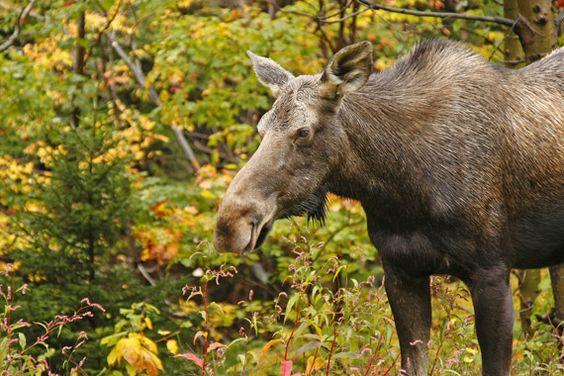 Moose in NH: Schoool Bus, School Field, Beautiful Places, Field Trips, Kid