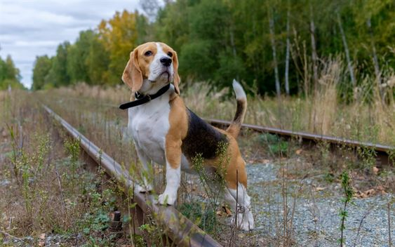 Download Wallpapers Beagle Puppy Small Dog Rails Railway Forest Beagle Puppy Beagle Dog Photos