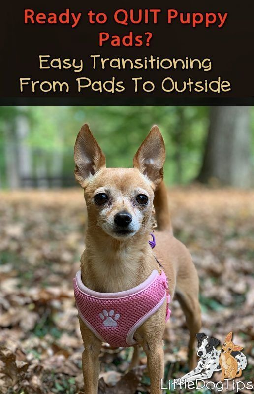 How To Wean Your Dog Off Puppy Pads Positivetraining Dogtraining Puppytraining Puppies Chihuahua Minpin Dogs Puppy Pads Puppies Dog Care